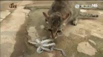 爆笑喵星人吃章鱼刺身