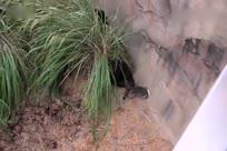 小浣熊误入黑猩猩领地被群殴