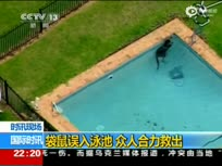 袋鼠掉入游泳池不停扑腾 狗狗大叫求救