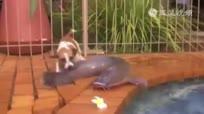 宠物狗潜水捕捉巨鲶
