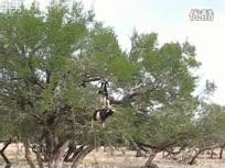 山羊会爬树!神级平衡感屌炸天