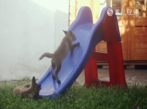 萌化了!兩只小狐貍玩滑梯