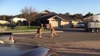 澳大利亚街头目睹袋鼠剧烈激战