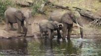 罕见鳄鱼袭击饮水大象:咬住象鼻