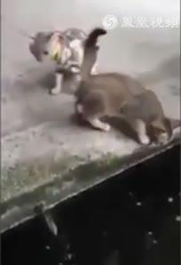 实拍大鱼跃出水面吞吃小猫
