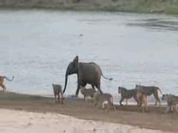遭14头狮子围攻 小象奋力逃脱