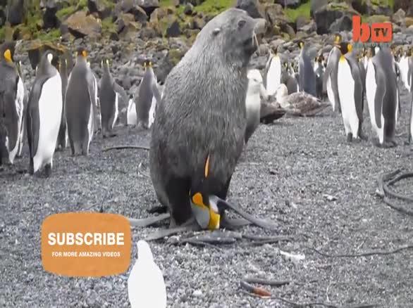 科学家拍到海豹强奸帝企鹅