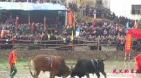 实拍民间斗牛大赛 数千人激情围观