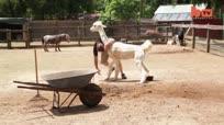 跟羊驼结下梁子可没有好下场!