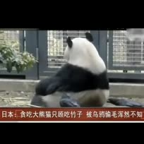 贪吃大熊猫被乌鸦偷毛浑然不知