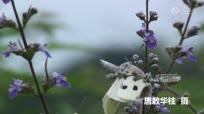 唯美动人的场景:交配中的蝴蝶