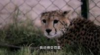 女子收养猎豹做宠物遇险