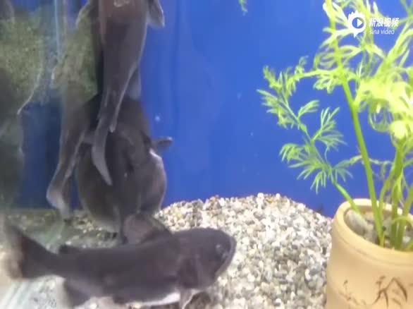 实拍鲶鱼生吞同体型鱼 腹部鼓胀如河豚
