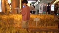 上海一商场惊现金黄麦田