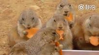 一群土拨鼠吃胡萝卜 就这样静静地看了40多秒