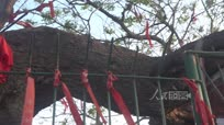 安徽萧县千年老槐被市民当仙树祭拜树身腐空仍枝叶旺盛