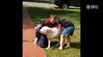 小主人要离开家去上学了,不舍离开家里的狗狗。只有3条腿的狗?#25918;?#21147;地站起来给小主人抱抱,安慰他。小主人离开后,狗狗因为站得太久太累,最后倒在?#30636;?#22378;上休息