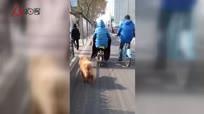 女士牵松狮跑原来竟为了狗减肥