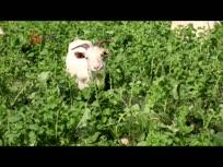 郑维根大山当畜圈,猪牛羊满山跑得欢