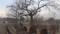 宿州村庄古树长进石桥里相守百年成一体