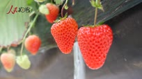 中国草莓第一县东港 农民眼中最美的春色
