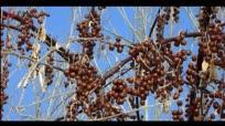 兰州白塔山 神奇的沙枣树果实挂满枝头