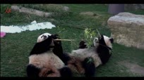 咱是国宝不能失态 干嘛吃根竹子你也抢啊?