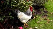 农村土鸡打鸣大比拼