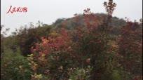 【金秋垄上行】香山红叶节即将开幕 众游客冒雨登山赏红叶