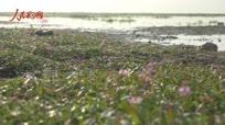 鄱阳湖重现一半是草原一半是花海