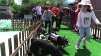 """重庆一景区举办动物运动会 """"小猪赛跑""""精彩上演"""