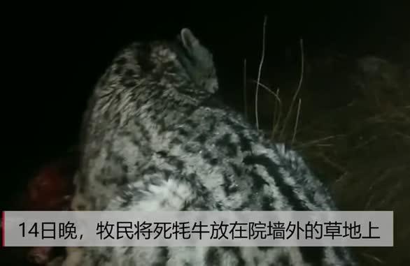 视频!雪豹夜闯青海牧民家里捕食牦牛