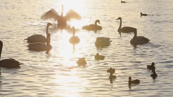 2400多只大天鹅飞抵山东荣成 十多处湖泊河流均有靓影