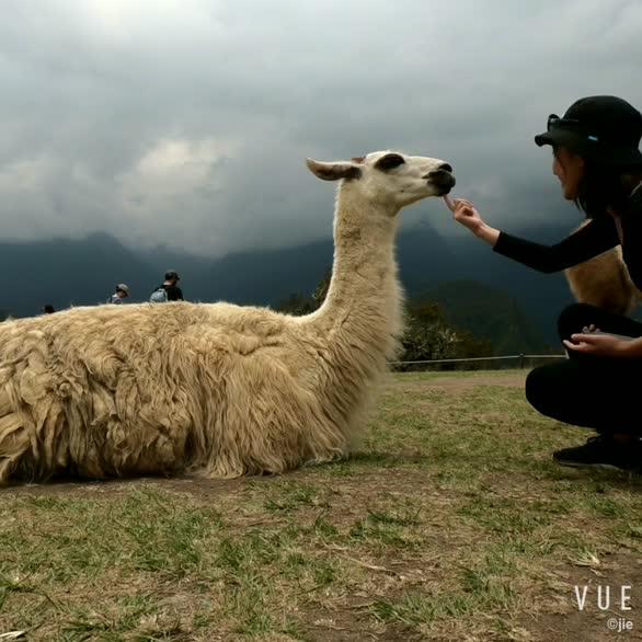 世界上最有仙气的羊驼在哪里?