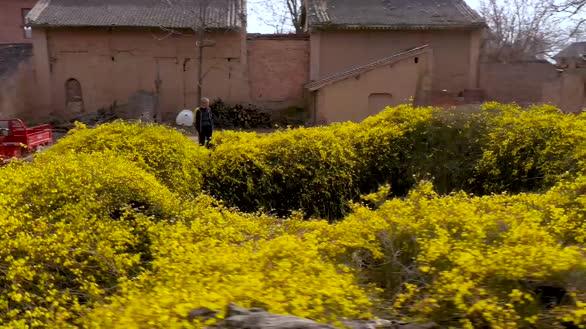 山西新绛:迎春花包围地窖院春意浓浓似人间仙境