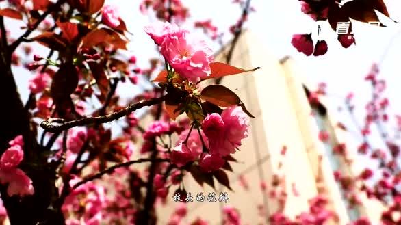 大同市:樱花又开放