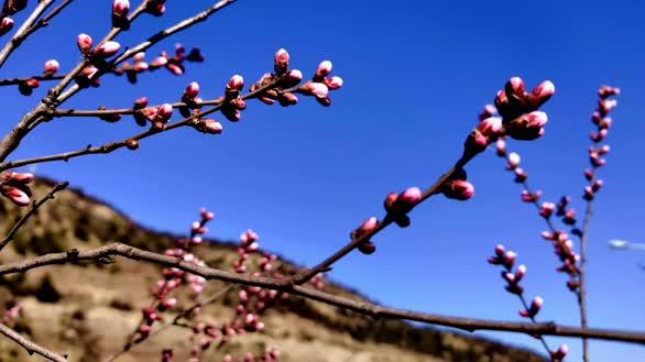 绿色沁源 春到李元镇工业园区 山桃花开了