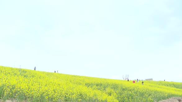 安塞:黄土高原上的油菜花海