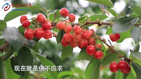 为了一颗樱桃,宝鸡67岁老人执着三十多年