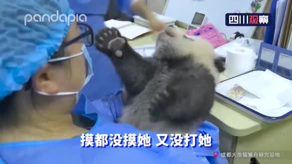 过分可爱!大熊猫宝宝和饲养员吵架全过程