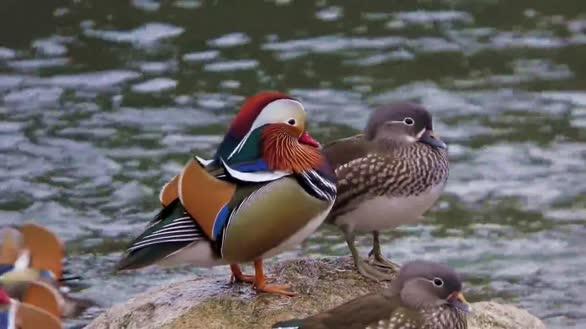 绿色沁源 栖息在沁河里的鸳鸯 如同画中走出来的鸟儿
