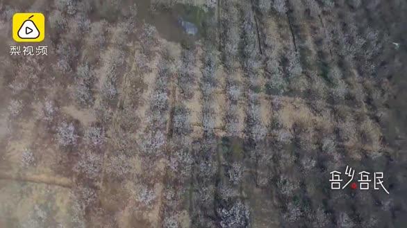 小伙深山種3000畝櫻桃花競相綻放:想建設家鄉留住年輕人