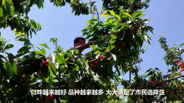 大叔种植樱桃30年有20多个品种,土坯房变200平农家大院供2女儿读大学