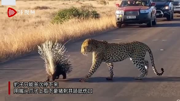 南非饥饿豹子试图捕食豪猪 爪子被刺得血淋淋无奈放弃